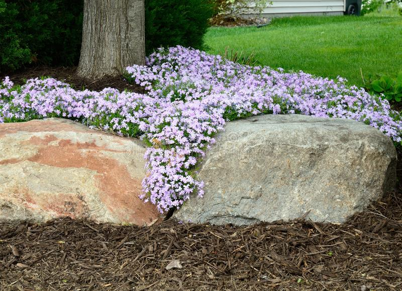 Flox di strisciamento (subulata del flox) abbellire e muro di sostegno della roccia immagini stock