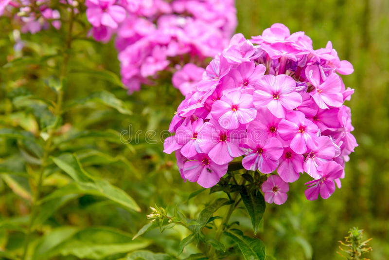 Flox Paniculata royalty-vrije stock foto