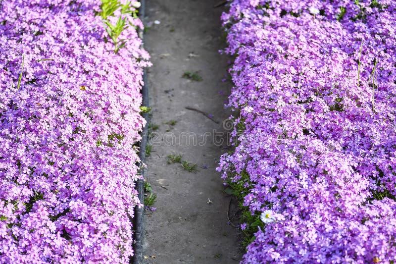 Flox rosa del subulate dei fiori come elemento di architettura del pæsaggio Fondo immagini stock libere da diritti
