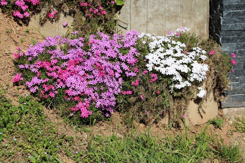 Flox variopinto di strisciamento o pianta di fioritura perenne sempreverde di subulata del flox piantata davanti alla parete dell fotografia stock