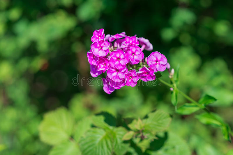 Floxpaniculata in bloei stock afbeelding