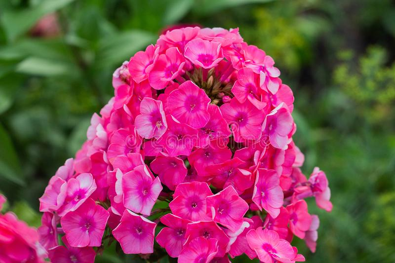 Floxpaniculata, de bloem van de tuinflox royalty-vrije stock foto's