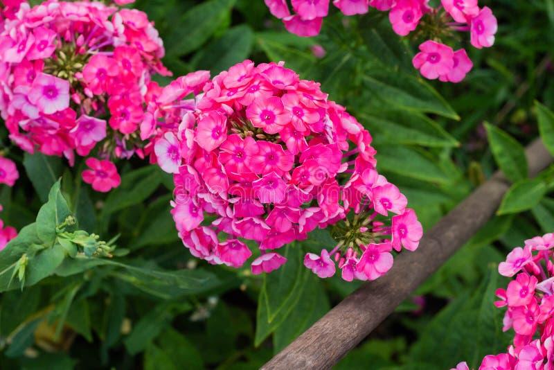 Floxpaniculata, de bloem van de tuinflox royalty-vrije stock afbeeldingen