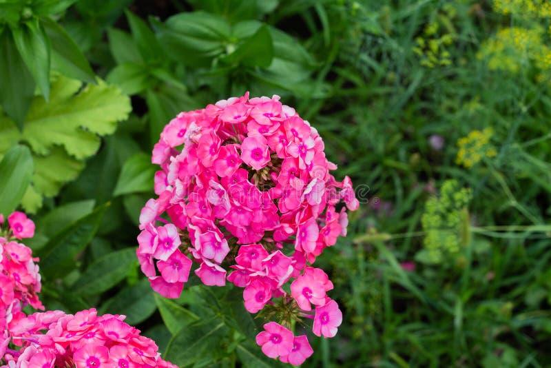 Floxpaniculata, tuinflox royalty-vrije stock foto's