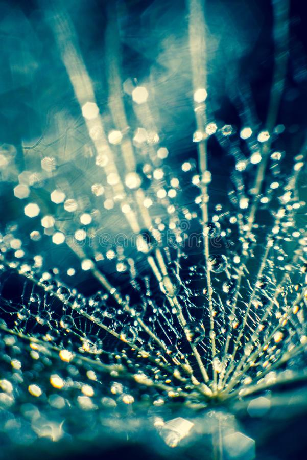Free Fluff And Dew Drops Stock Photo - 104564610