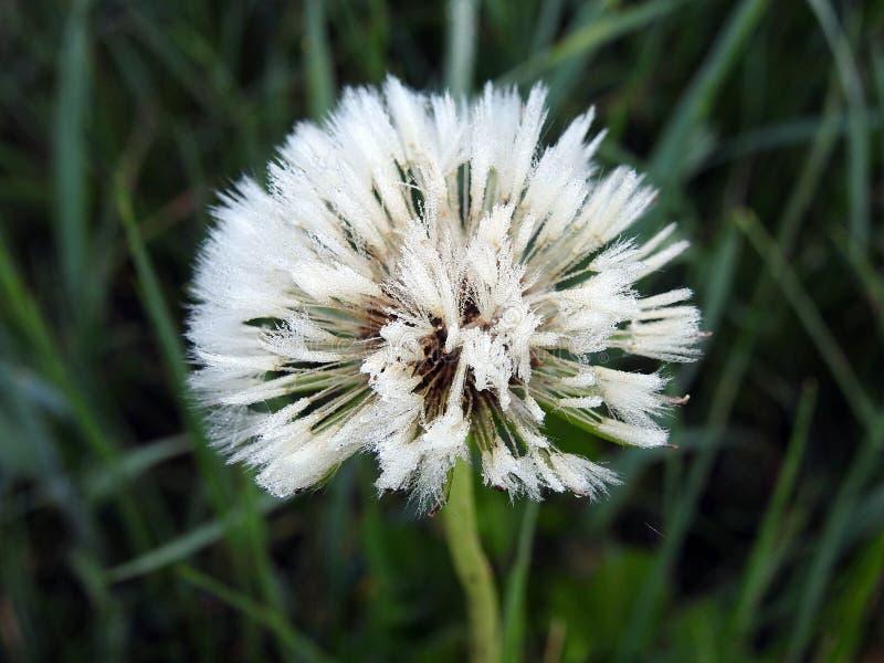 Fluff branco do dente-de-leão no prado, Lituânia fotos de stock