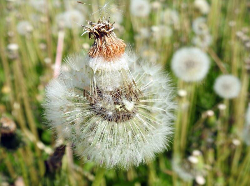 Fluff branco do dente-de-leão no prado, Lituânia foto de stock royalty free