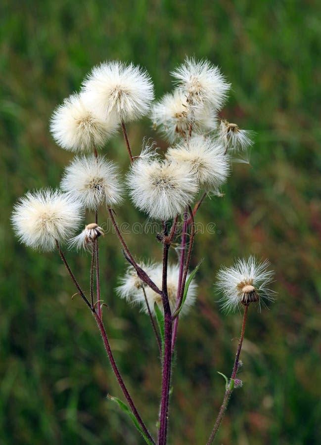 Fluff branco macio no prado imagem de stock