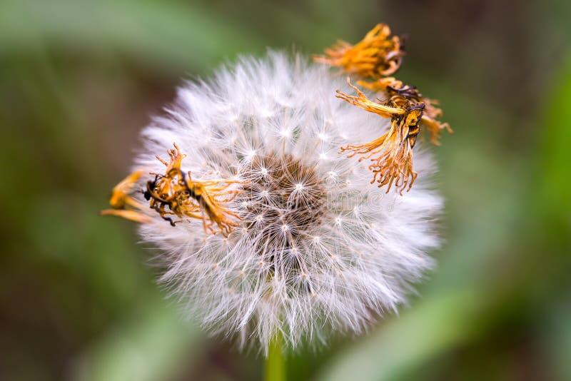 Fluff da semente do dente-de-le?o com algumas p?talas secadas fotografia de stock