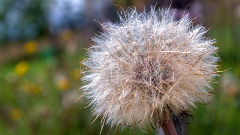 Fluff denso da semente do dente-de-leão em um campo do dente-de-leão imagem de stock royalty free
