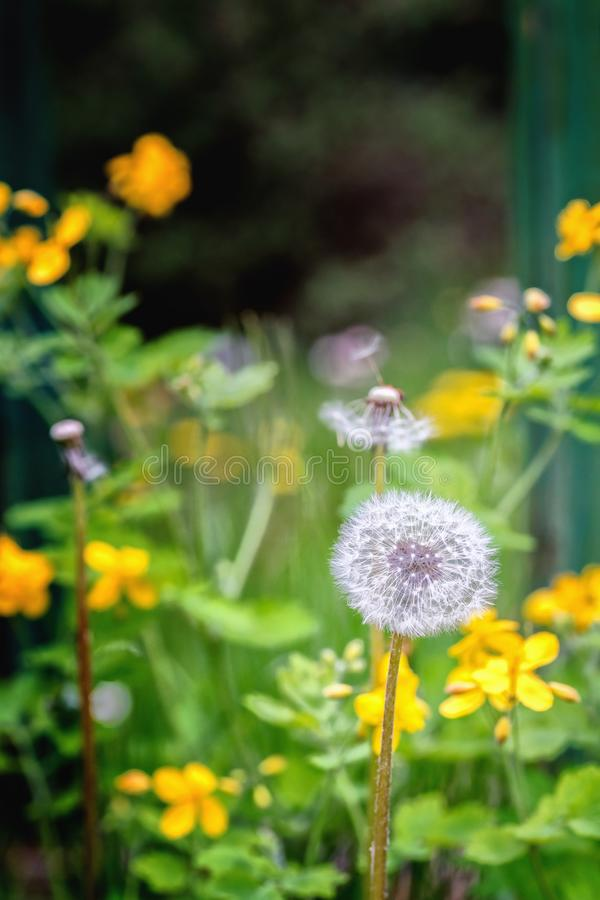 Fluff do dente-de-leão em um prado com as várias plantas de florescência imagem de stock royalty free
