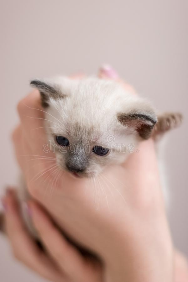 Fluffig framsida av en ung Siamese thailändsk kattunge med blåa ögon i hennes armar arkivbild