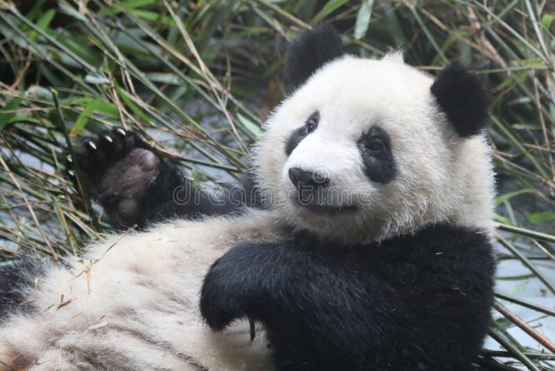Fluffig framsida för närbildpanda` s, Chengdu, Kina arkivfoto