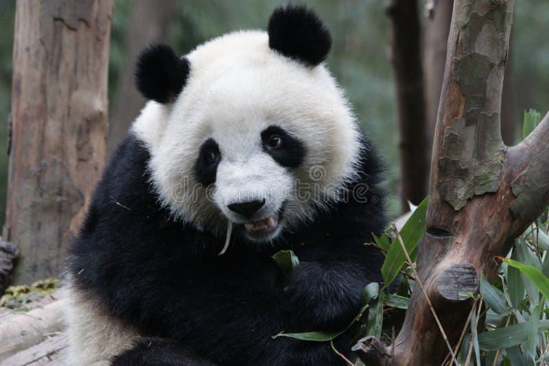 Fluffig framsida för närbildpanda` s, Chengdu, Kina royaltyfria bilder