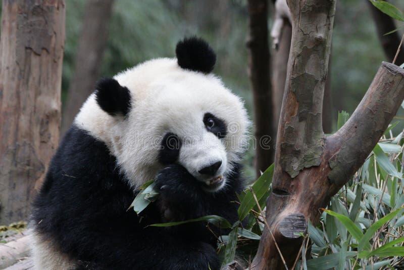 Fluffig framsida för närbildpanda` s, Chengdu, Kina arkivbilder