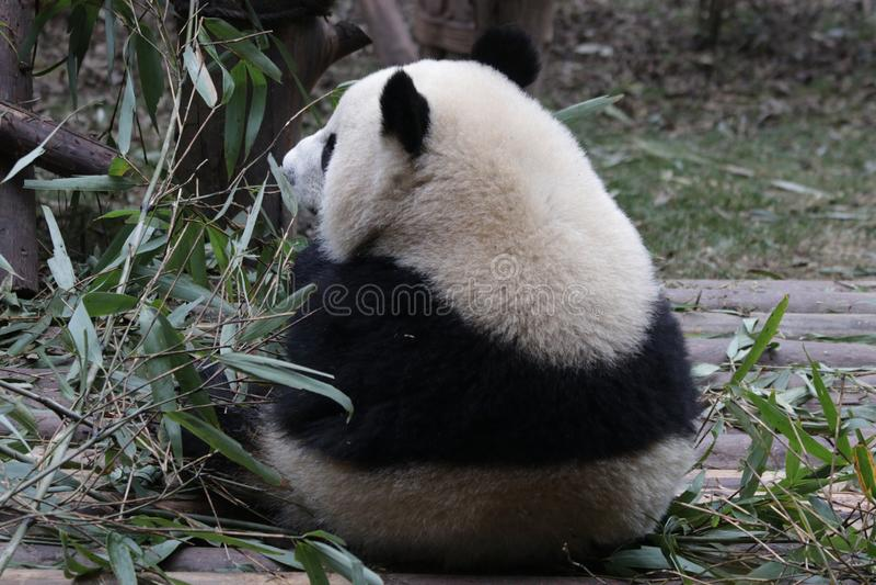 Fluffig framsida för närbildpanda` s, Chengdu, Kina arkivfoton
