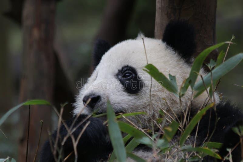 Fluffig framsida för närbildpanda` s, Chengdu, Kina royaltyfri foto
