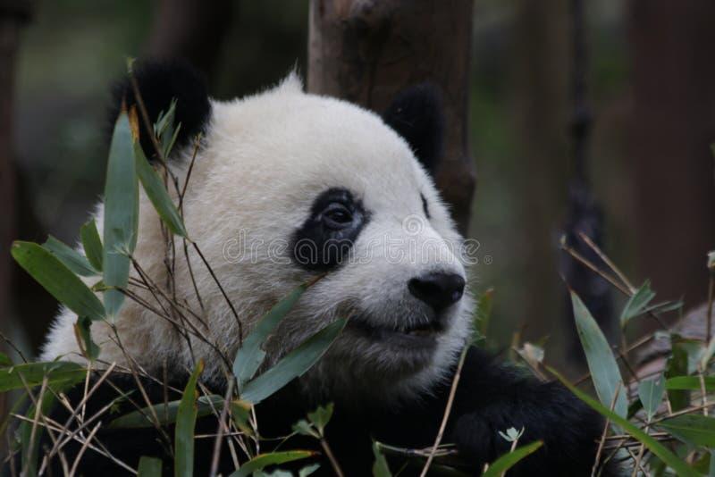Fluffig framsida för närbildpanda` s, Chengdu, Kina arkivbild