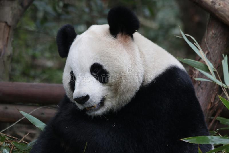 Fluffig framsida för närbildpanda` s, Chengdu, Kina royaltyfri fotografi