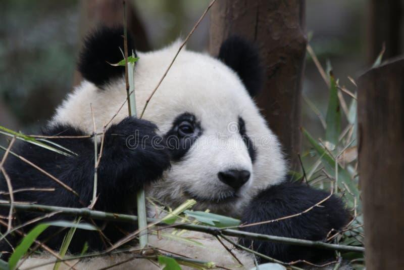 Fluffig framsida för närbildpanda` s, Chengdu, Kina royaltyfria foton