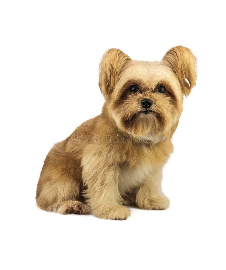 Fluffig gullig hund royaltyfria foton