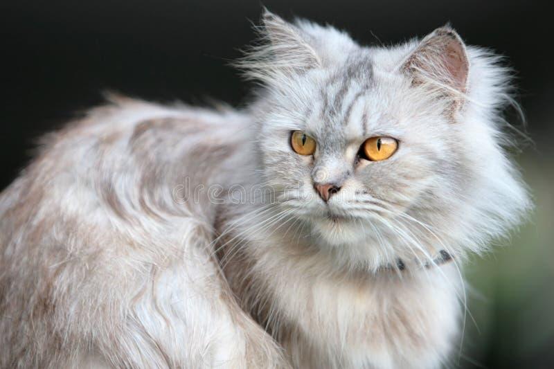 fluffig katt fotografering för bildbyråer