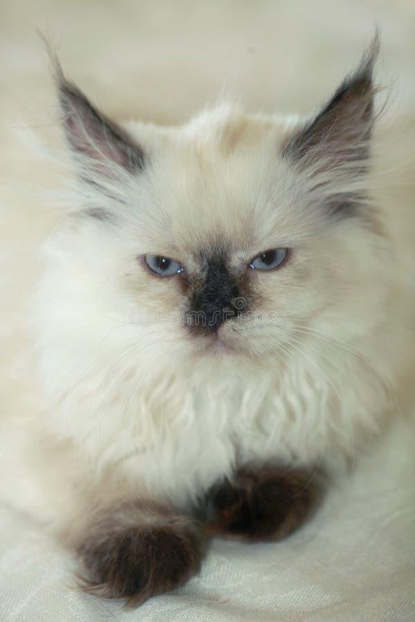 fluffig katt arkivfoto