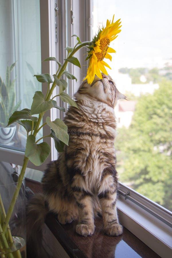 Fluffig kattunge Maine Coon som för närbild sitter på fönsterbrädan bredvid en vas av solrosor på köksbordet royaltyfria bilder