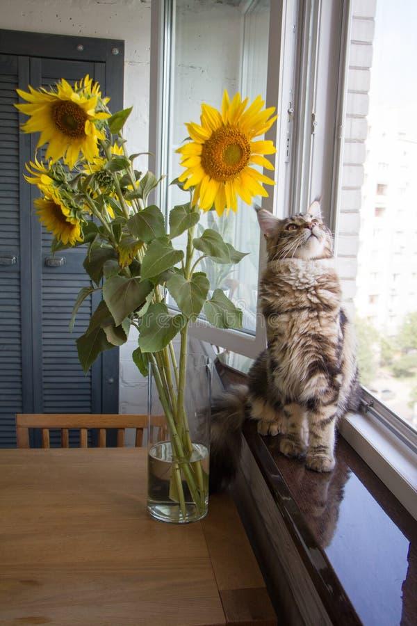 Fluffig kattunge Maine Coon som för närbild sitter på fönsterbrädan bredvid en vas av solrosor på köksbordet arkivbild