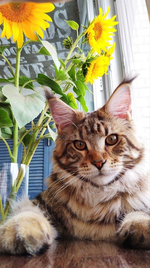 Fluffig kattunge Maine Coon som för närbild sitter på fönsterbrädan bredvid en vas av solrosor på köksbordet royaltyfri fotografi
