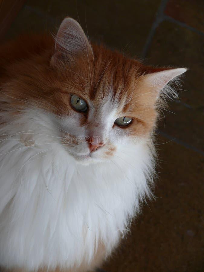 Fluffig orange katt arkivbilder