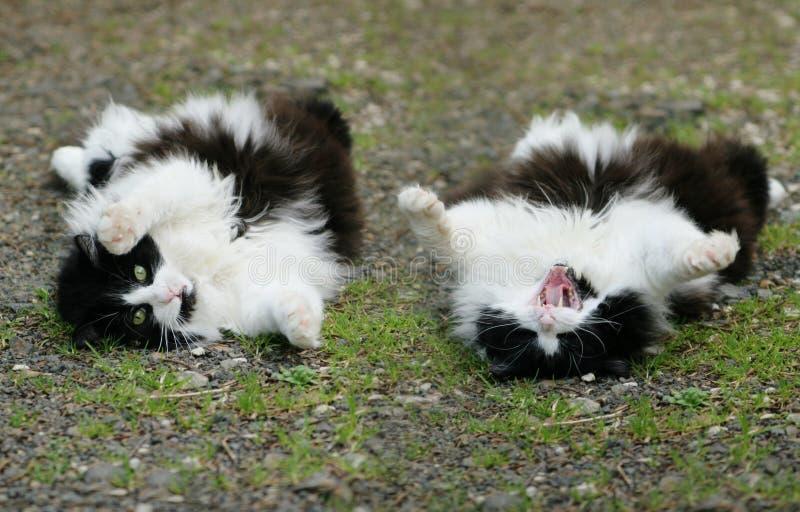 fluffig over rulle för katt royaltyfria bilder