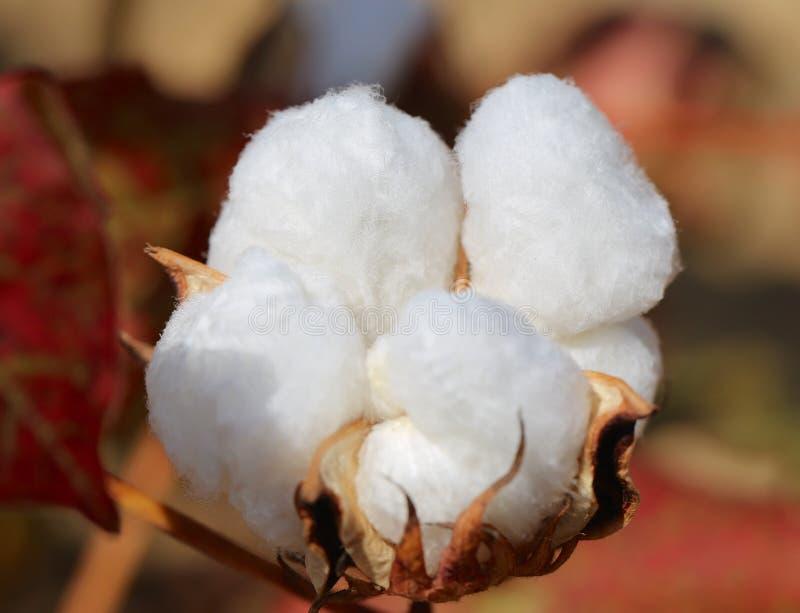 Fluffig ren vit bomullsfröhus fortfarande på dess stam royaltyfri bild