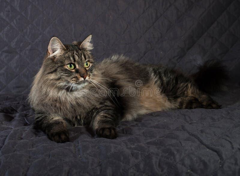 Fluffig Siberian strimmig kattkatt som ligger på täcket arkivbilder