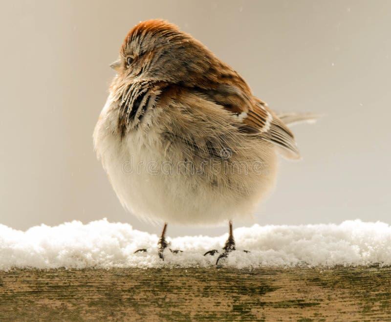fluffig sparrow royaltyfri fotografi