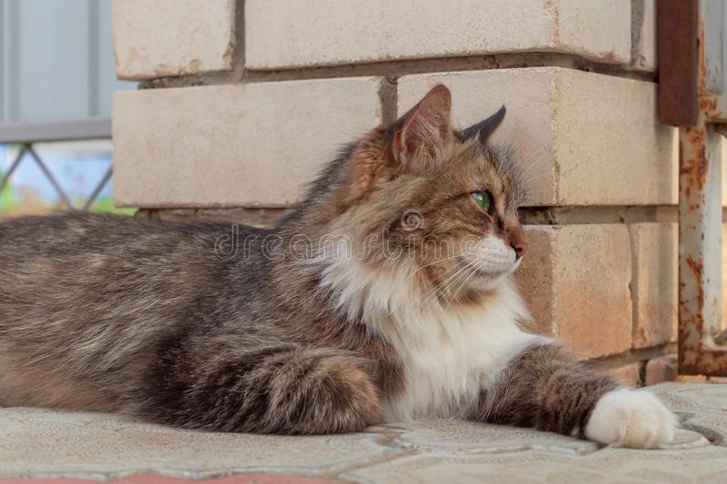 Fluffig tricolour manlig katt på gatan Från ovanför brokig ursnygg katt med gröna ögon som ligger på gatan nära väggen som bort s royaltyfri bild