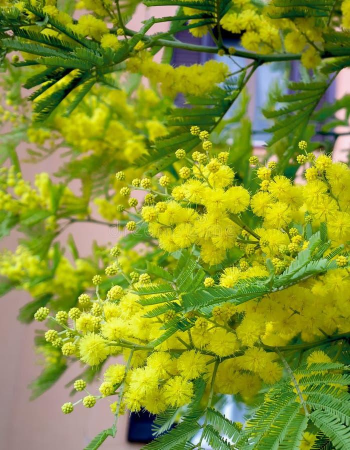 Fluffig vår för mimosaträdblom Internationell dag för kvinna` s Solig gul mimosa arkivfoton