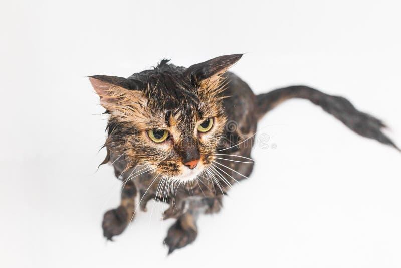 Fluffig v?t katt i badrummet P? en vit bakgrund arkivfoton