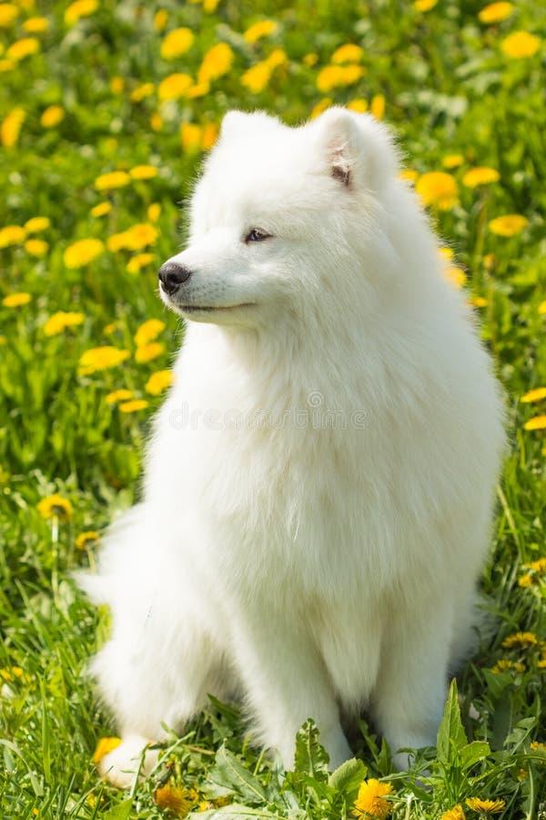 Fluffig vit Samoyedhund i det gröna gräset arkivbilder