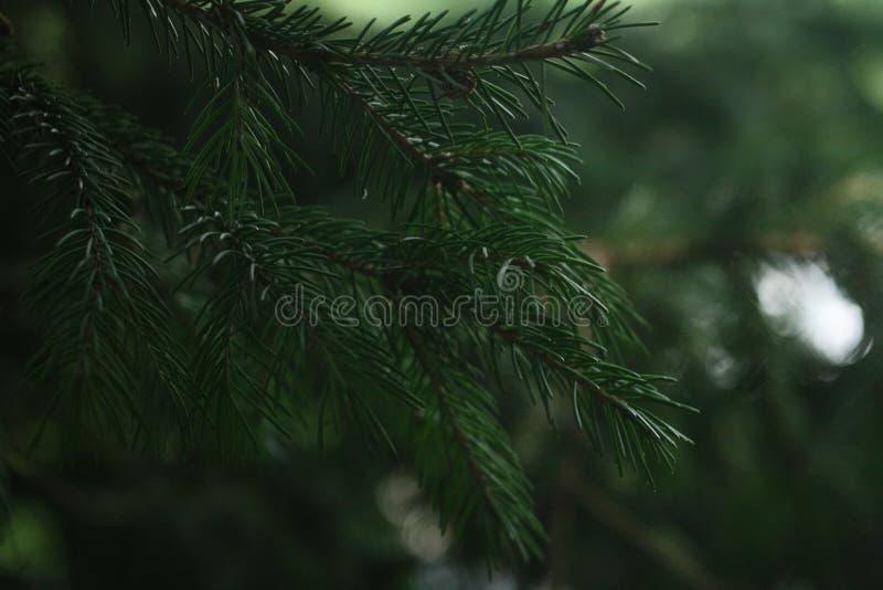 Fluffiga filialer av barrträdet royaltyfri fotografi