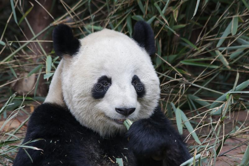 Fluffiga Panda Bear i Chengdu, Kina royaltyfria foton