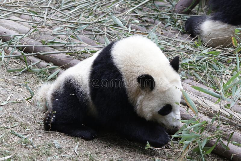 Fluffiga Panda Bear i Chengdu, Kina arkivbild