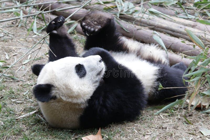 Fluffiga Panda Bear i Chengdu, Kina fotografering för bildbyråer