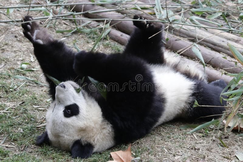 Fluffiga Panda Bear i Chengdu, Kina arkivfoto