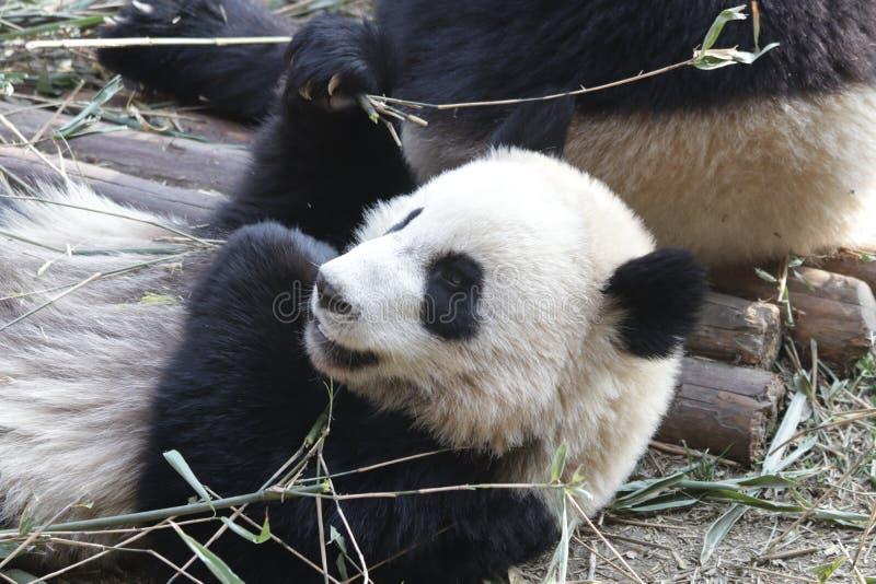 Fluffiga Panda Bear i Chengdu, Kina arkivbilder
