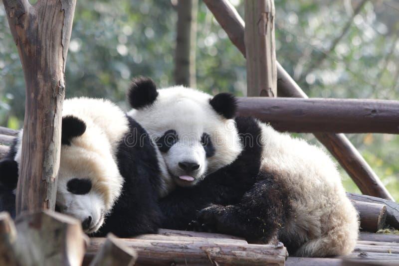 Fluffiga Panda Bear i Chengdu, Kina arkivfoton