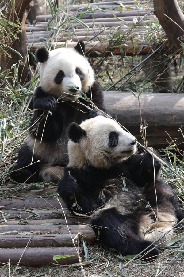 Fluffiga Panda Bears i Chengdu, Kina fotografering för bildbyråer