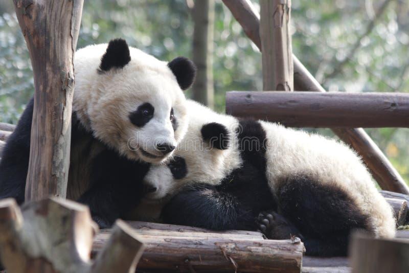 Fluffiga Panda Bears i Chengdu, Kina royaltyfria foton