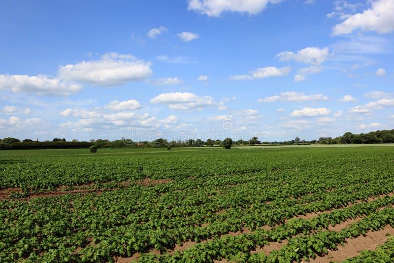 Fluffiga vita moln i blå himmel över fält av unga potatisväxter i ett sommarlandskap royaltyfri foto