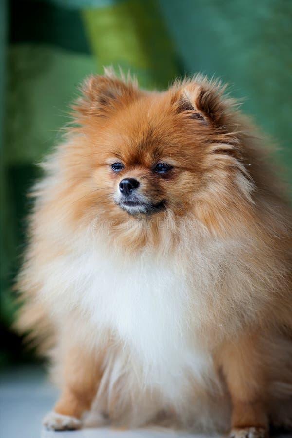 Fluffigt gulligt Pomeranian sammanträde på en grön bakgrund arkivfoton